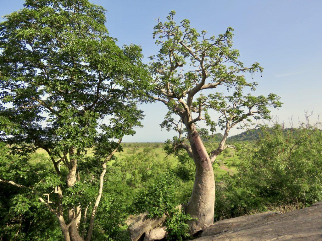 Shai Hills Resource Reserve Ghana Baobab tree