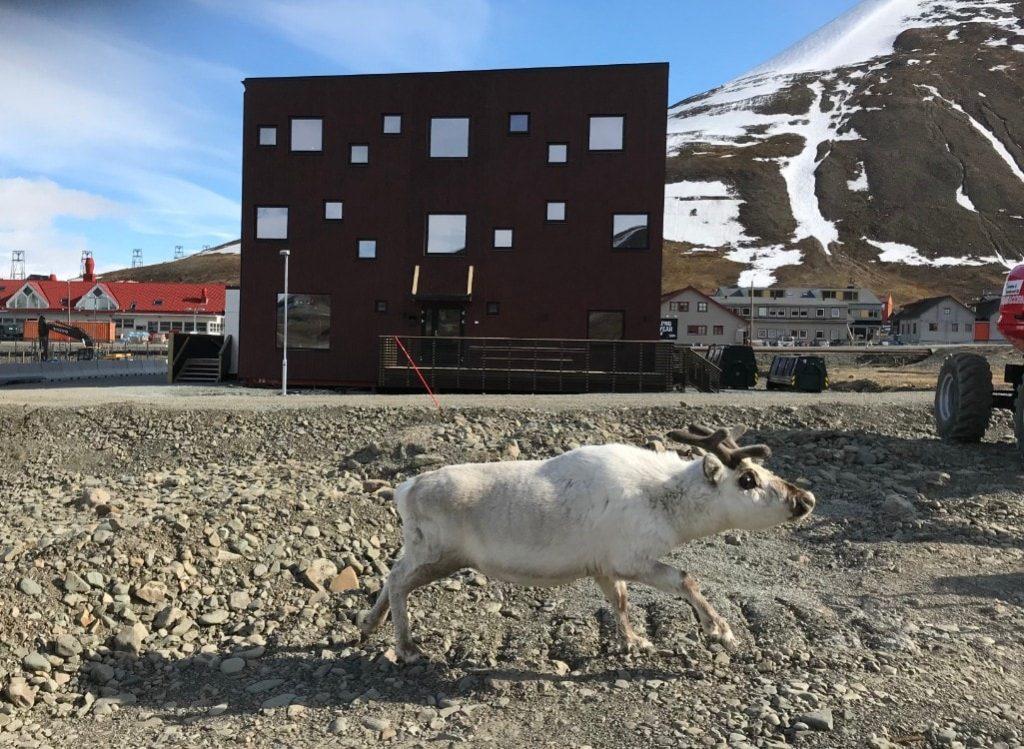Svalbard reindeer longyearbyen