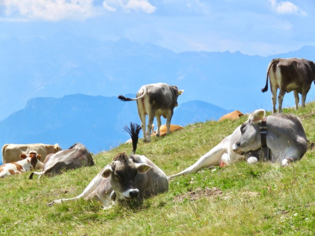 Cows in Liechtenstein while hiking