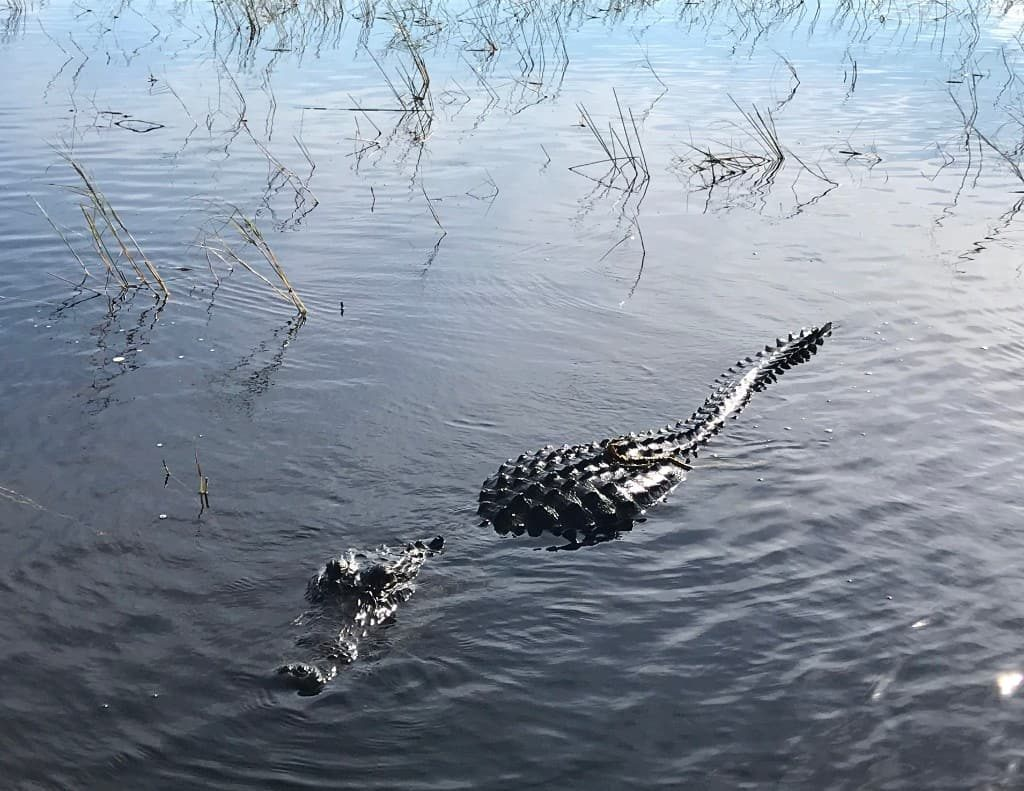 Crocodile in the Everglades near Fort Lauderdale