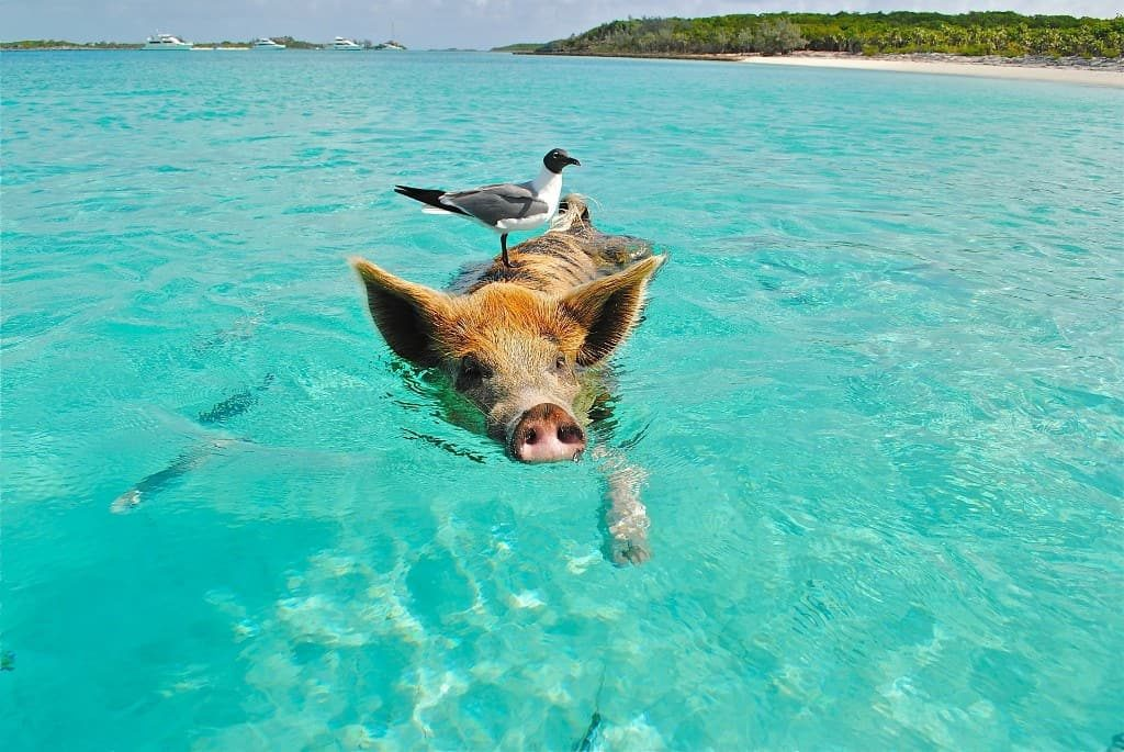 One day cruise to the Bahamas swimming pigs