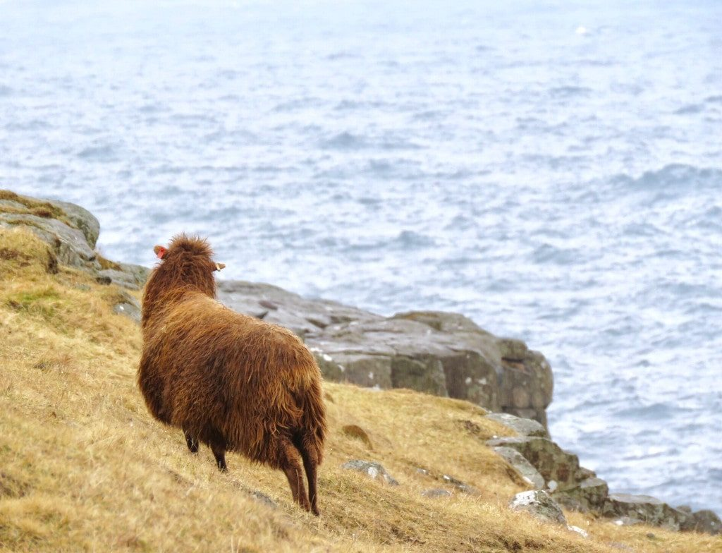What to do in the faroe islands - watching sheep by the ocean