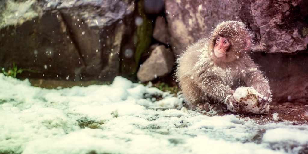 Things to do in Japan with kids - Snow Monkey