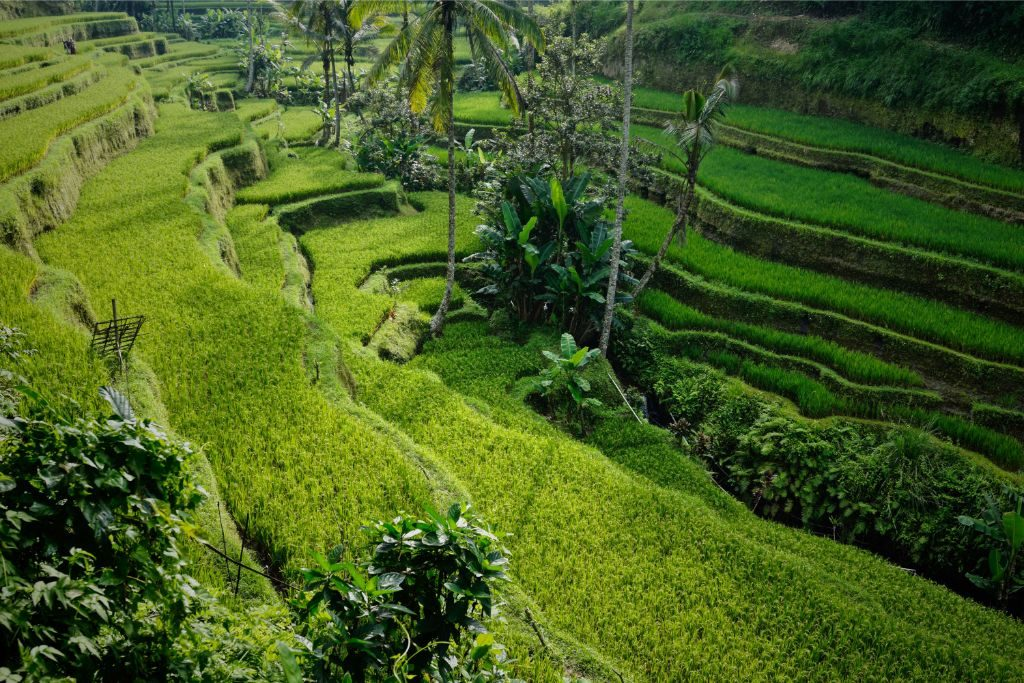 Rice paddies in Ubud - perfect area in Bali for nature lovers
